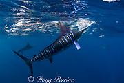 striped marlin, Kajikia audax (formerly Tetrapturus audax ), feeding on baitball of sardines or pilchards, Sardinops sagax, off Baja California, Mexico ( Eastern Pacific Ocean ) #6 in sequence of 7