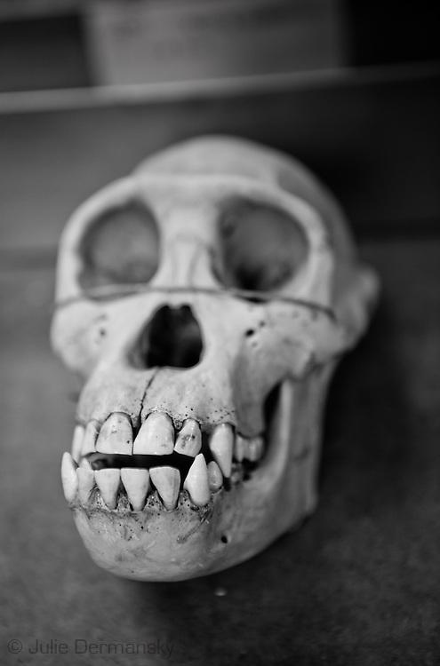 Moneky skull at the Tulane Natural History Museum,