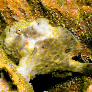 Longlure Frogfish inhabit coral reefs, often change color to blend with sponges in Tropical West Atlantic; picture taken Grand Cayman.