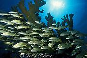 smallmouth grunts, Haemulon chrysargyreum, <br /> schooling under elkhorn coral, Acropora palmata<br /> Molasses Reef, Key Largo, Florida ( Atlantic Ocean )<br /> Florida Keys National Marine Sanctuary