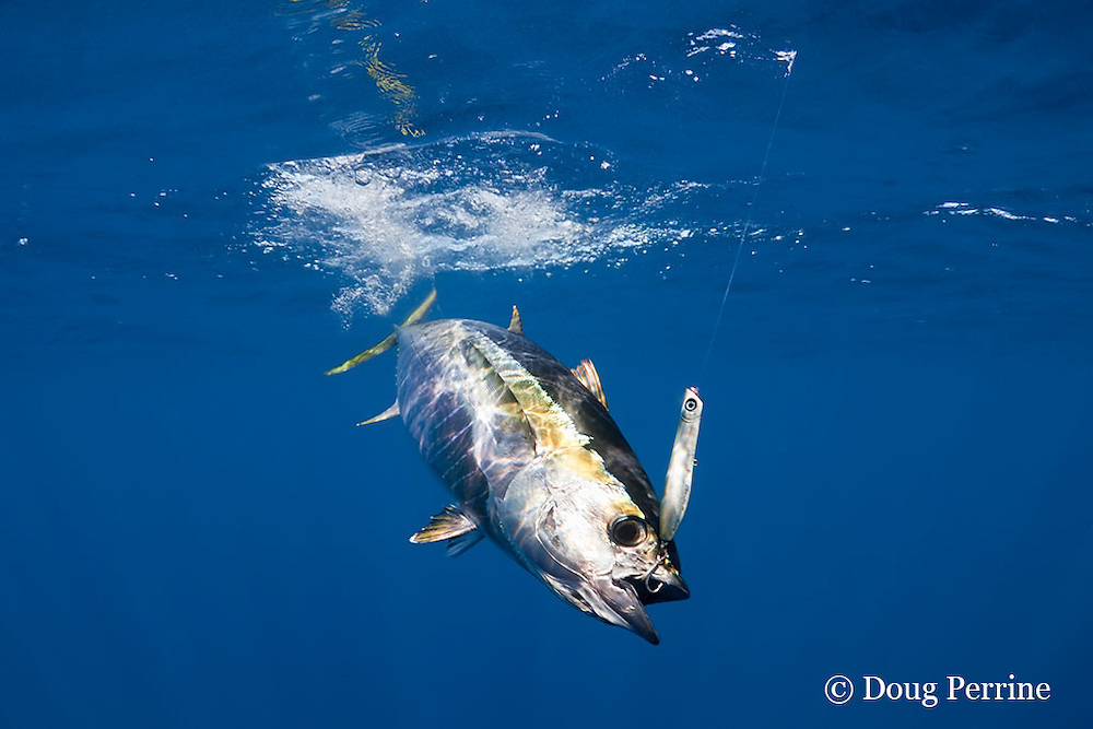 yellowfin tuna, Thunnus albacares, hooked up on lure with treble hook, off Baja California, Mexico ( Eastern Pacific Ocean )