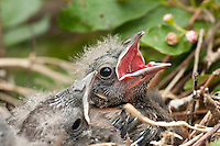 I had a chance to get a few more shots of these Blackbird hatchlings today.  The light and the chicks were much more cooperative and it was fun to see them light up whenever anyone passed close by.  Once again the parents weren't very happy, but I guess that's their fault for building their nest in a very public area.....©2009, Sean Phillips.http://www.Sean-Phillips.com