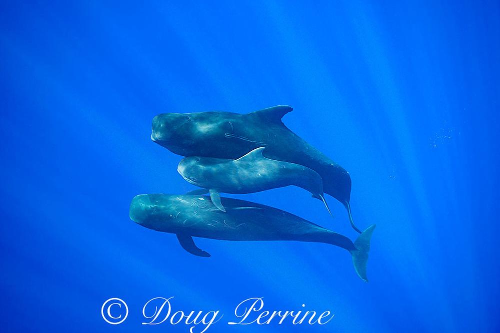 juvenile short-finned pilot whale, Globicephala macrorhynchus, between two adults, swimming through open ocean, Kona, Hawaii ( the Big Island ), U.S.A. ( Central Pacific Ocean )