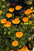 Californian poppy, Eschscholzia californica, Orange poppy's in flower in sunlight among annauls. UK.