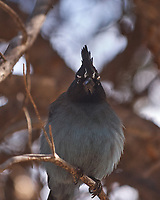Steller's Jay (Cyanocitta stelleriPark. Image taken with a Nikon D2xs camera and 70-200 mm f/2.8 VR lens.