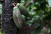 Unharvested cacao pods. Toledo Cacao Growers' Association (TCGA), San Jose, Toledo, Belize. January 25, 2013.