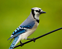 Blue Jay. Image taken with a Nikon N1V3 camera and 70-300 mm VR lens.