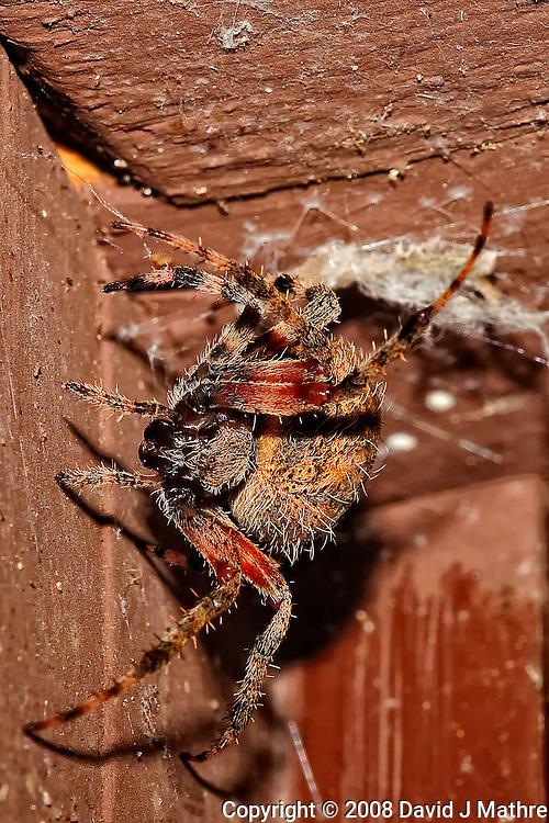 Big Spider Above My Front Door. Image taken with a Nikon D3 and 200 mm f/4 macro lens (ISO 220, 200 mm, f/16, 1/60 sec) and SB-900 flash.
