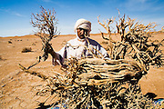 Berber nomad camel guide El-Hussein Sbiti collects woody debris to build a campfire at camp among the dunes of Erg Zehar, near M'hamid, Morocco. Sbiti, like many berber nomads in the region, has found opportunity in the new tourism trade burgeoning since the settling of tensions between Morocco and neighboring Algeria.