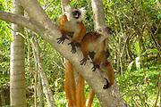Black Lemur (Eulemur macaco) on a tree. Photographed on Nosy Tanikely Island, Madagascar
