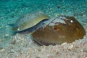 Mating Horseshoe Crabs (Limulus polyphemus) in Singer Island, FL