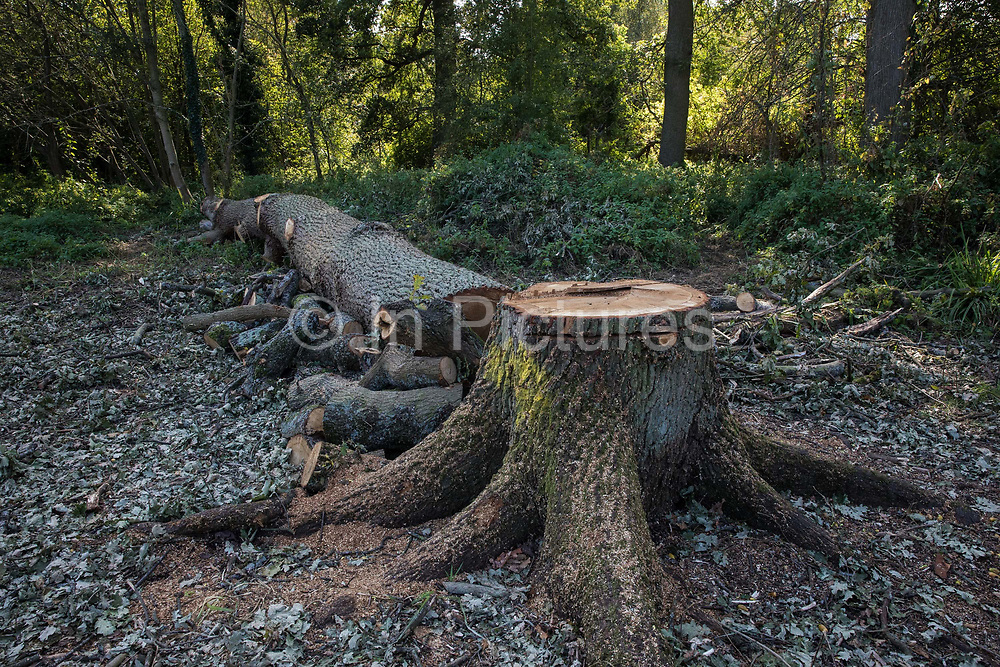 A mature oak tree recently felled in Denham Country Park by contractors working on behalf of HS2 Ltd is pictured on 21 September 2020 in Denham, United Kingdom. Anti-HS2 activists based at the nearby Denham Protection Camp contend that this and other nearby trees were felled in connection with the HS2 high-speed rail link in an area of the park not indicated for felling on official documents supplied by HS2 Ltd.