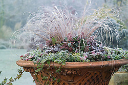 Winter container planting including Carex comans, skimmia and trailing ivy on a frosty morning at Ashwood Nurseries