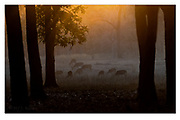 Evening in Kanha National Park, India. Nikon D5, 200-400mm @ 250mm, f4, EV-0.67, 1/800sec, ISO500, Aperture priority