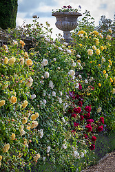 Roses on the lower terrace at Bowood House. Left to right: Rosa 'Teasing Georgia' = 'Ausbaker', R. 'Claire Austin', R. 'Tess of the d'Urbervilles = 'Ausmove', R. 'Golden Gate' and R. Rosa Kew Gardens = 'Ausfence'.