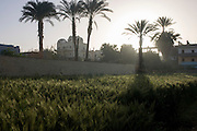 Date palm trees, nearby homes and green cereals growing on fertile soil, not far from the River Nile, in the village of Bairat on the West Bank of Luxor, Nile Valley, Egypt.