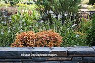 65821-00111 Lavender Cat's Whiskers (Orthosiphon stamineus) and Coleus (Solenostemon scutellarioides 'Rustic Orange') at Terrace Garden in Sarah P. Duke Gardens, Durham, NC