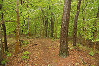 NC01283-00...NORTH CAROLINA -Maritime forest along the Sweetgum Swamp Trail at Nags Head Woods Preserve on the Outer Banks at Nags Head.