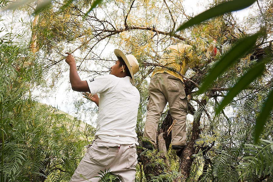 Men gather a yellow tree fungus they use to dye wool a bright yellow in trees outside the famous Zapotec weaving village of Teotitlan del Valle, Oaxaca state, Mexico on July 30, 2008.