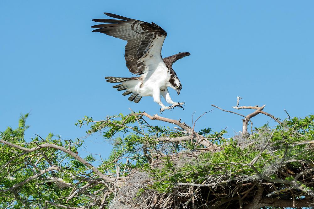 An Osprey, Pandion haliaetus, prepares to land on its nest on Blue Cypress Lake, located in Indian River County, Florida, United States.