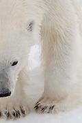 Close up portrait of a polar bear, Ursus maritimus, on the pack ice on the Arctic ocean at 81* north of the Svalbard islands.
