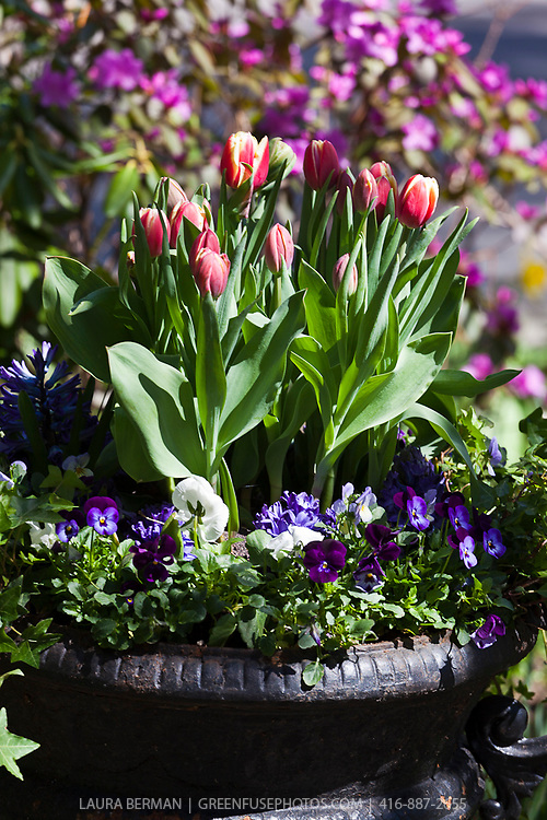 Spring planting of red and white tulips and purple pansies with ivy in a black cast iron urn.