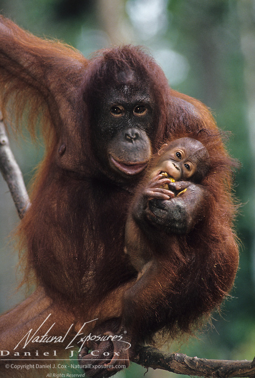 Portrait of an orangutan (Pongo pygmaeus) mother and baby hanging from a vine in a rainforest. Malaysia