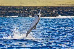 Long-snouted Spinner Dolphin, leaping, Stenella longirostris, off Kona Coast, Big Island, Hawaii, Pacific Ocean.