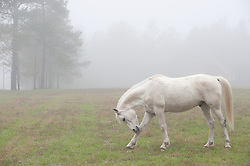 White horse in afoggy pasture bowing his head