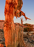 Ancient Bristlecone Pine Framed by Standing Snag at Sunrise, The White Mountains, Inyo National Forest, California