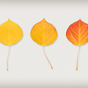 A series of found aspen leafs at different stages of color.
