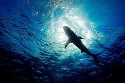 silhouette of Caribbean reef shark, Carcharhinus perezi, West End, Bahamas, Atlantic Ocean