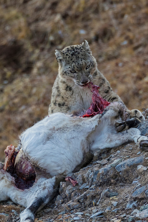Snow leopard, Panthera uncia, 雪豹属, feeding on its prey, a Bharal, also called Blue sheep, after hunting in Serxu, Garze Prefecture, Sichuan Province, China