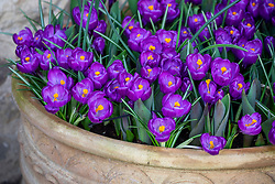 Crocus 'Flower Record' interplanted with tulips in a large pot