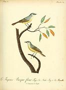 figuier BECQUE-FLEUR [figbird] from the Book Histoire naturelle des oiseaux d'Afrique [Natural History of birds of Africa] Volume 3, by Le Vaillant, François, 1753-1824; Publish in Paris by Chez J.J. Fuchs, libraire 1799 - 1802