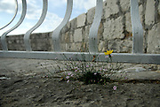 Yellow and pink wildflowers growing in rock paving near white railing, Kamerlengo fortress rampart. Trogir, Croatia