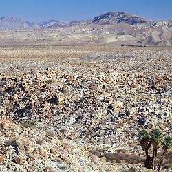 Anza-Borrego S.P., CA. California fan palm, washingtonia filifera. Mountain Palm Springs oasis. Carrizo badlands.