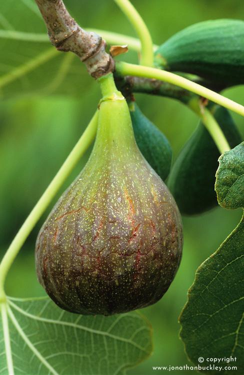 Fig. Ficus carica 'Brown Turkey'