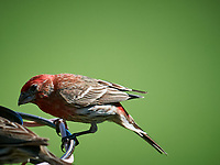 House Finch. Image taken with a Nikon D5 camera and 600 mm f/4 VR lens (ISO 640, 600 mm, f/5.6, 1/1250 sec).