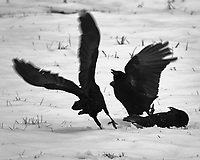 American Crow (Corvus brachyrhynchos). Image taken with a Fuji X-T2 camera and 100-400 mm OIS lens.