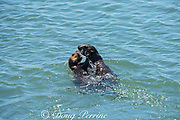 California sea otter or southern sea otter, Enhydra lutris nereis ( threatened species ), large pup (left) and young male (right) play fighting, Elkhorn Slough, Moss Landing, California, United States ( Eastern Pacific )