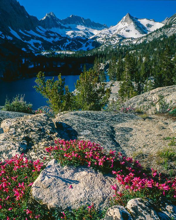 Pentsemon wildflowers, John Muir Wilderness, California, USA