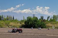 TRACTOR Y TRABAJADORES SEMBRANDO AJO EN UN CULTIVO, CORDON DEL PLATA AL FONDO, CAMPO LOS ANDES, SAN CARLOS, PROVINCIA DE MENDOZA, ARGENTINA
