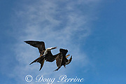 aerial combat between magnificent frigate birds, Fregata magnificens, juvenile at left and transitional female on right, offshore from southern Costa Rica, Central America ( Eastern Pacific Ocean )