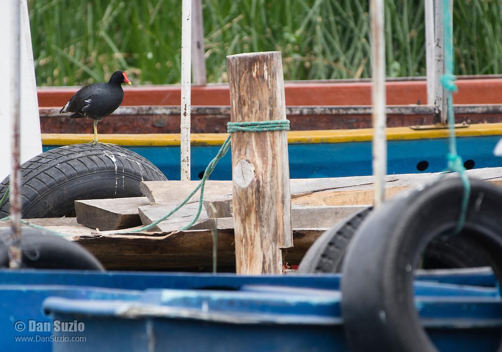 Common Gallinule, Gallinula chloropus, on a dock at San Pablo Lake, Ecuador
