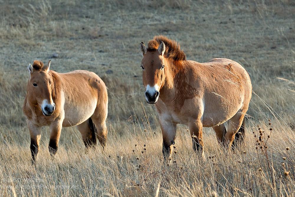 Przewalski's horse (Equus ferus przewalskii) - Mongolia