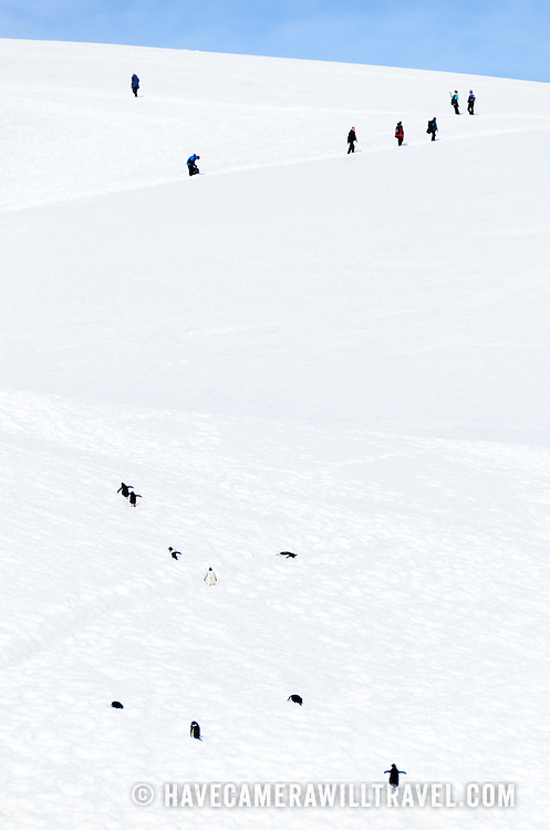 Some Gentoo penguins climb up a steep slope of ice and snow trailing a group of tourists further up the mountain in Neko Harbour, Antarctica.