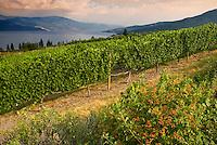 Grape vines grow on the steep hillsides above Okanagan Lake, BC Canada
