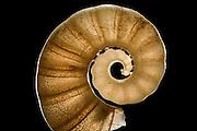 [Digital focus stacking] The Tail-Light Squid Shell (Spirula spirula) has a chambered, delicate shell. (also called: ram's horn squid) If the shell remains in one piece it can quite easily be spotted in the sand, as with a diameter of about 1 cm it stands out from the rest of the grains. Raja Ampat, Indonesia. Diagonal of frame approx. 20 mm (Decapodiformes) | Das zu einer urzeitlichen Gruppe der Tintenfische gehörende Posthörnchen (Spirula spirula) hat eine gekammerte, innere und filigrane Kalkschale, mit der es seinen eigenen Auftrieb regulieren kann. Nach dem Absterben des Tieres bleibt dieser übrig und wird an tropischen Stränden angespült. Da es mit einen Schalendurchmesser von etwa drei Zentimeter wesentlich größer als andere Sandpartikel ist, können intakte Schalen leicht am Strand entdeckt werden. (Neuseeland)