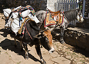 A loaded yak (yak-cow hybrid) passes a horse, on a stone road in Nepal